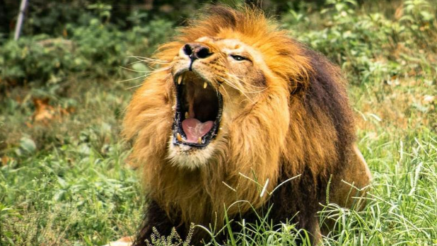 A lion roaring at the Bronx Zoo in NYC