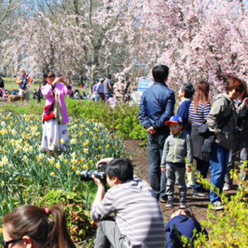 People admiring and taking pictures at the Cherry Blossom Festival