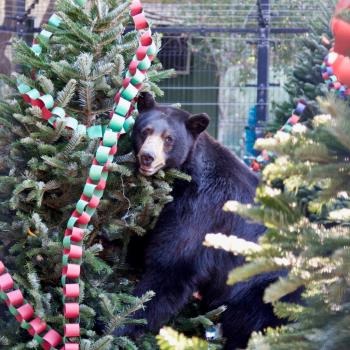 OC Zoo Bear Christmas