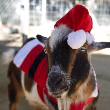 OC Zoo Christmas Goat