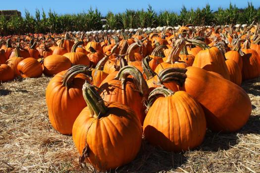 Pumpkins at Farmer John's Pumpkin Farm