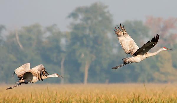 Sandhill Cranes flying in Northwest Indiana