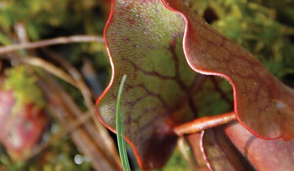 Pinhook Bog Pitcher Plant