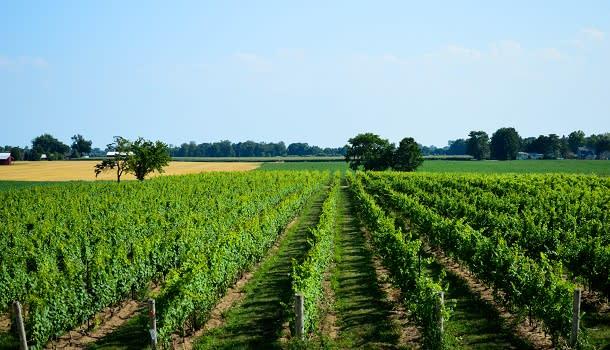 Vineyards at coopers kawk