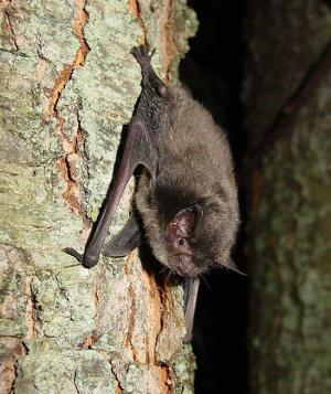 Learn about the federally endangered Myotis sodalis (Indiana bat) at Sodalis Nature Park on Feb. 18.