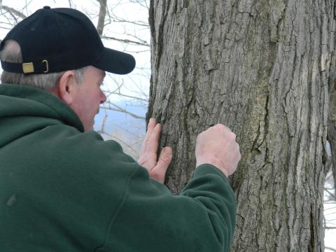 Dave Boxler at Hidden Valley Animal Adventure taps a maple tree
