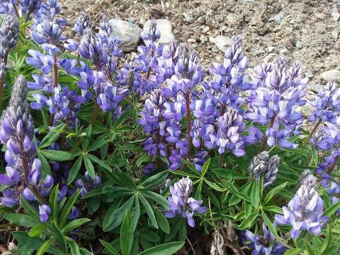 Arctic Lupine flowers