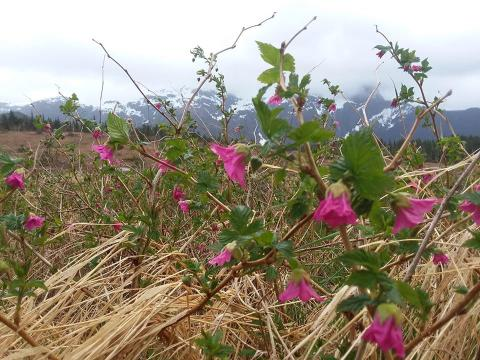 salmonberry flowers blooming in a field