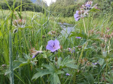 wild geranium flowers by a creek