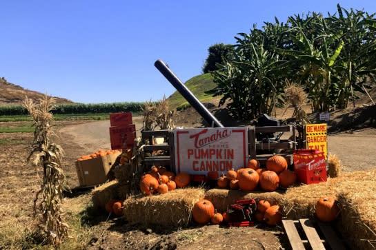 Pumpkin Cannon Tanaka Farms