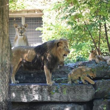 Lions at the Buffalo Zoo