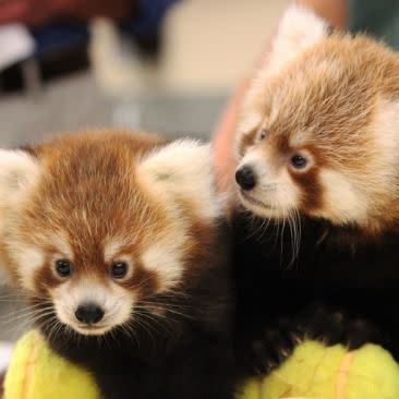 RED PANDA CUBS_Rosamond Gifford Zoo