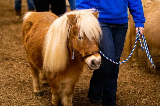 agritourism-pennsylvania-farm-show-mini-horse