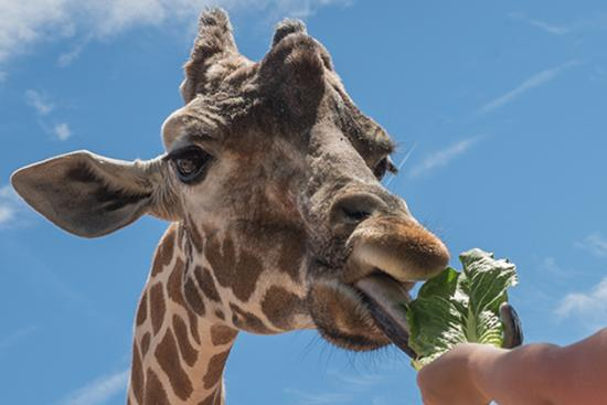 Feeding giraffe at Denver Zoo