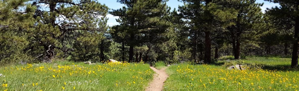 Dirt hiking trail surrounded by yellow flowers and pine trees
