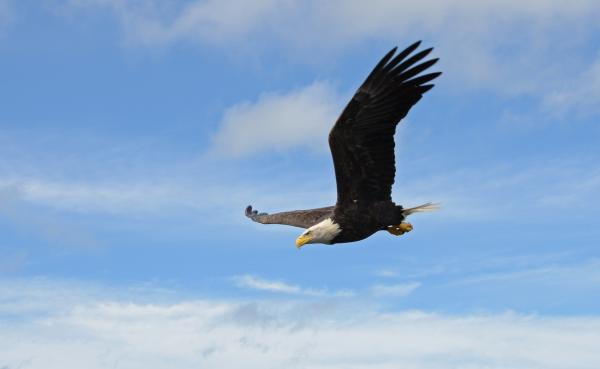 Birding in the Finger Lakes - photo opportunities - Bald Eagle