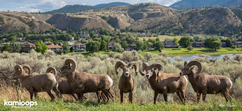 Bighorn Sheep in Kamloops