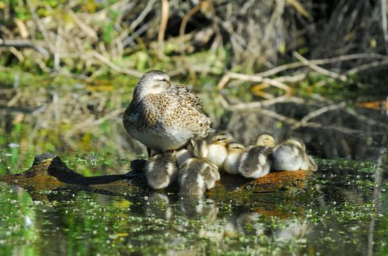 Ducks at Mercer Slough