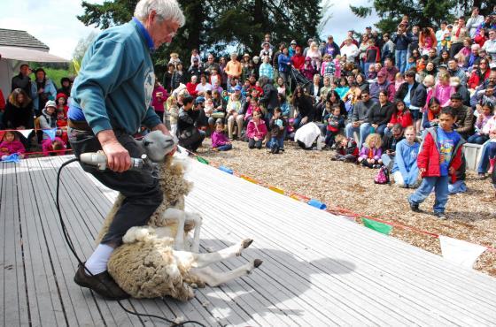 Sheep Shearing at Kelsey Creek Farm