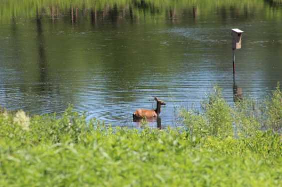 Deer in Wetland
