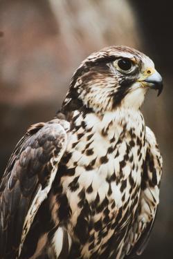 Bird, Hawk