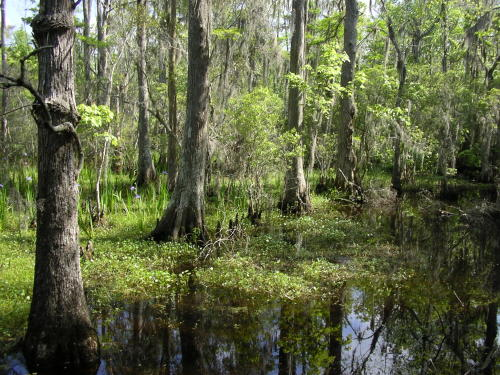 Barataria Preserve Swamp