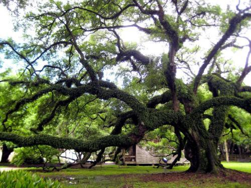 Tree at Destrehan Plantation in Destrehan, LA.