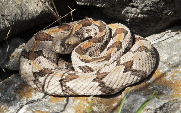 Kansas Timber Rattle Snake 2