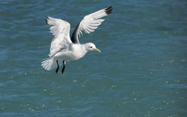 A kittiwake descends upon the water