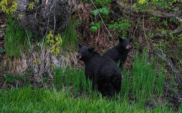 two black bears: a sow and a cub