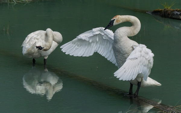 two swans stand in water