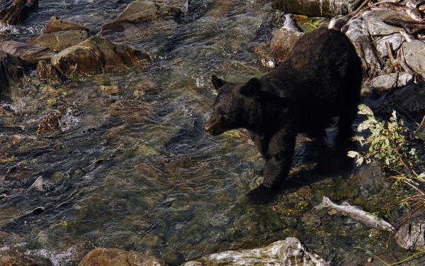 a bear in a creek