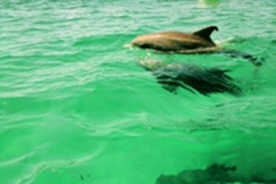 Dolphin trip April 10th 2017 Dolphins in ten feet of water off Shell Island!!
