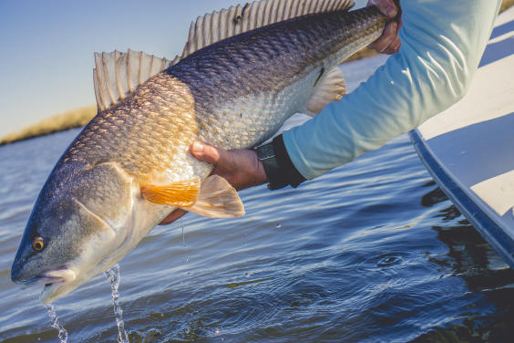 redfish1