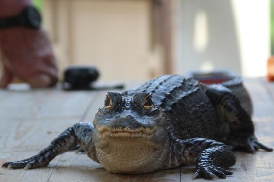 alligator on table