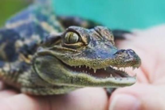 baby gator in hand