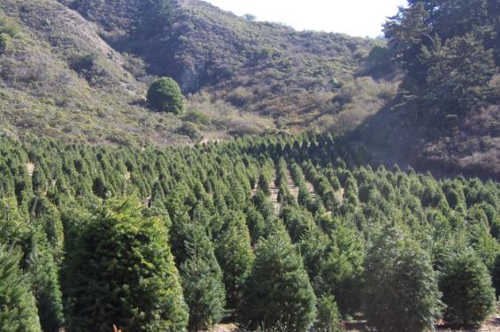 Christmas Trees at Santa's Tree Farm