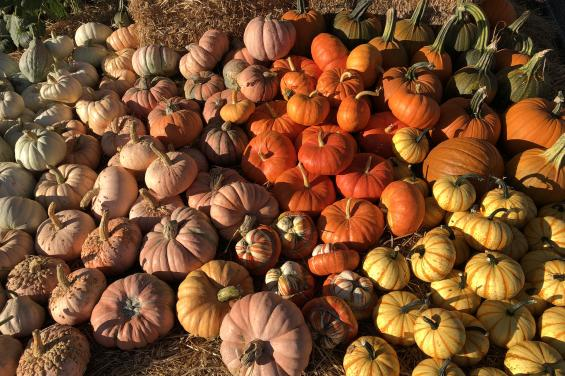 Pumpkins-at-Andreotti-Family-Farm