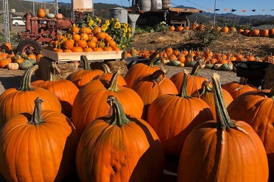Pumpkins-at-Andreotti-Family-Farms-in-Half-Moon-Bay