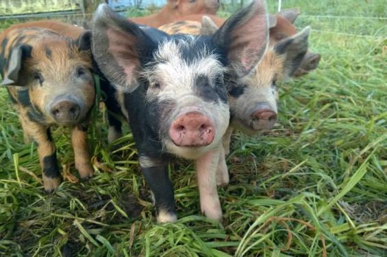 Root_Down_Farm_Pigs