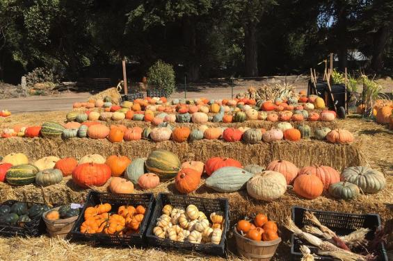 cozzolino pumpkin patch