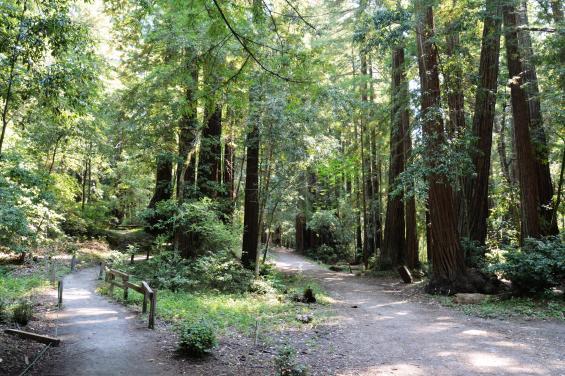 Redwood Trees by Edna Takeda Geller