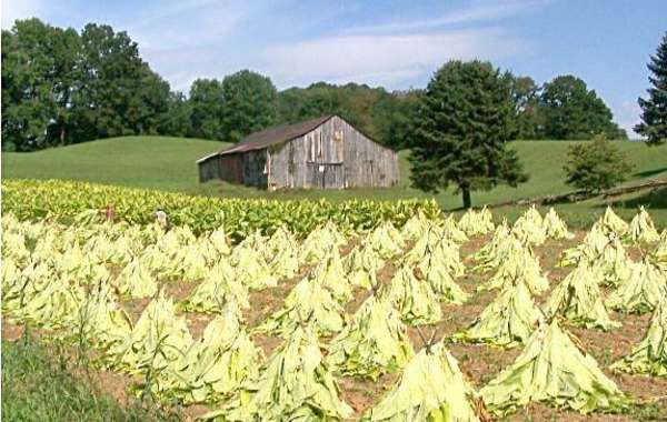 The Norwegian Crop: Tobacco Raising in Wisconsin