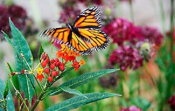 Monarch c/o Huntington Beach Tree Society