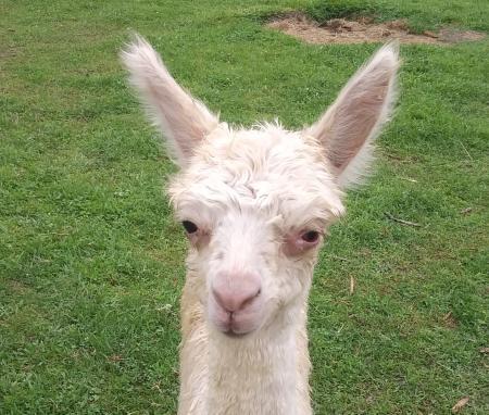 Montrose Farms alpaca