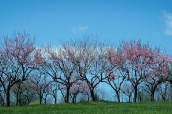 148505_7541_springtime peach orchard at 868.jpg