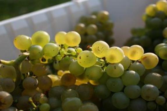 35744_5047_Notaviva Grapes.JPG