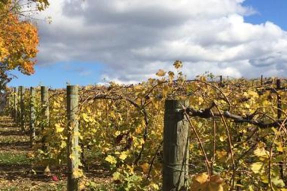 44267_4599_village winery vines.JPG
