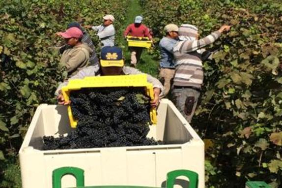 44267_4603_village winery picking.JPG