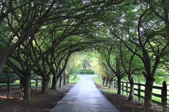 Main drive tree canopy